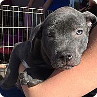 Adopt A Pet :: Amos - Phoenix, AZ