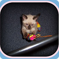 Adopt A Pet :: Cinnamon - Such a Doll! - South Plainfield, NJ