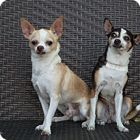 Chihuahua Mix Dog for adoption in Cambridge, Ontario - Maggie and Junior
