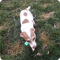 Adopt A Pet :: linda - mooresville, IN