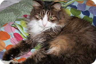 Maine Coon Cat for adoption in Ephrata, Pennsylvania - Marcy