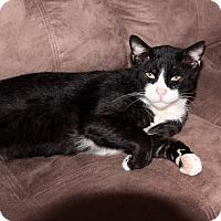 Domestic Shorthair Cat for adoption in St. Louis, Missouri - Louis