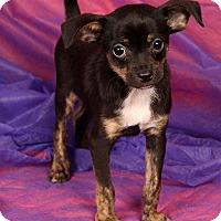Adopt A Pet :: Gavin Terrier - St. Louis, MO