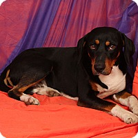 Adopt A Pet :: Peter Hound - St. Louis, MO