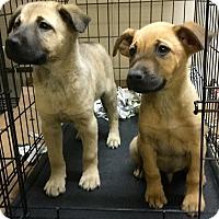 Adopt A Pet :: Hanz - Phoenix, AZ