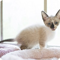 Adopt A Pet :: Kitten 8 - Houston, TX