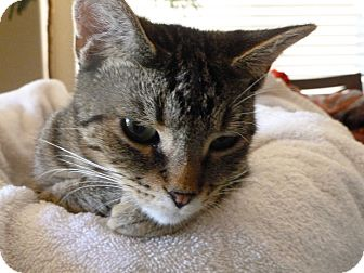 American Shorthair Cat for adoption in Phoenix, Arizona - Lilly
