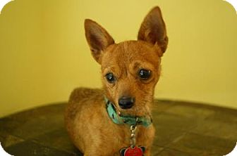 Chihuahua Mix Dog for adoption in Gainesville, Florida - Simba