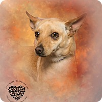 Chihuahua/Terrier (Unknown Type, Small) Mix Dog for adoption in Inglewood, California - Cal