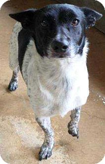 Blue Heeler Mix Dog for adoption in Summerville, South Carolina - Raymond