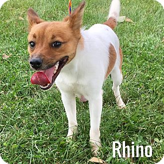 Jack Russell Terrier Mix Dog for adoption in Muscatine, Iowa - Rhino