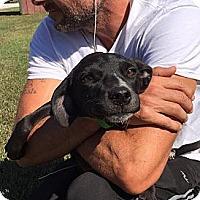 Adopt A Pet :: Breenie - Harrisonburg, VA