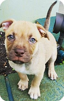 Boxer/American Bulldog Mix Puppy for adoption in Fort Lauderdale, Florida - Clint Eastwood