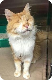 Domestic Mediumhair Cat for adoption in Centerville, Georgia - Clarence