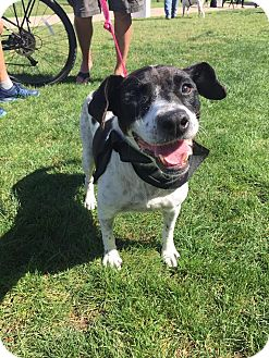 Border Collie/Cattle Dog Mix Dog for adoption in San Diego, California - Chloe