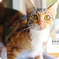 Adopt A Pet :: Shir con - Edwardsville, IL