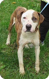 Boxer/Hound (Unknown Type) Mix Dog for adoption in Elkins, West Virginia - Trixie