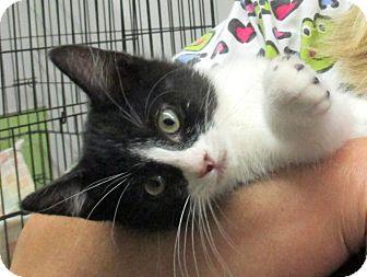 Domestic Shorthair Kitten for adoption in Reeds Spring, Missouri - Royce