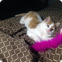Domestic Mediumhair Cat for adoption in Mississauga, Ontario, Ontario - Banyon