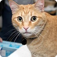 Domestic Shorthair Cat for adoption in Los Angeles, California - Skeeter