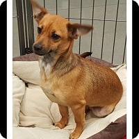 Dachshund/Chihuahua Mix Puppy for adoption in Winchester, California - MASON