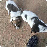 Adopt A Pet :: Lucy - Tucson, AZ