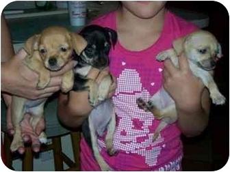 Chihuahua/Dachshund Mix Puppy for adoption in Mesa, Arizona - chi 1