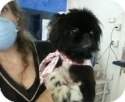 Pekingese Dog for adoption in Sherman, Connecticut - Minnie