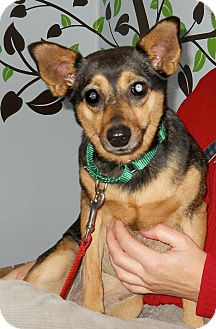 Rat Terrier/Whippet Mix Dog for adoption in San Francisco, California - Carly