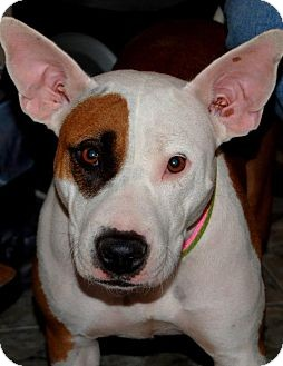 Bull Terrier Mix Dog for adoption in Las Vegas, Nevada - Melody