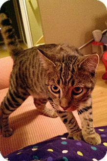 Domestic Shorthair Cat for adoption in Rochester, Minnesota - Nikita