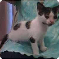 Adopt A Pet :: Domino - Reston, VA