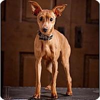 Adopt A Pet :: Duchess - Owensboro, KY
