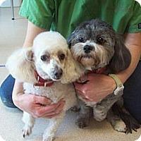 Adopt A Pet :: Buffy - Chesterfield, VA