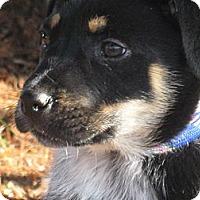 Adopt A Pet :: Joey - Tumwater, WA