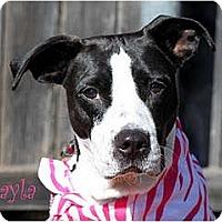 Adopt A Pet :: Layla - Rowlett, TX