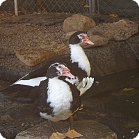 Adopt A Pet :: Mr Muscovy - East Hartland, CT