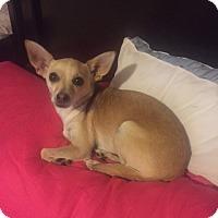 Adopt A Pet :: Shiloh - Las Vegas, NV