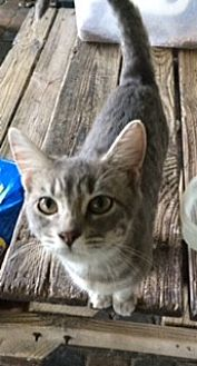 Domestic Shorthair Cat for adoption in Thibodaux, Louisiana - Tiger Lily FE1-9348