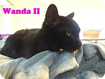 Domestic Shorthair Cat for adoption in East Stroudsburg, Pennsylvania - Wanda