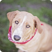 Adopt A Pet :: Belle - Kingwood, TX