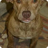 Plott Hound/Pit Bull Terrier Mix Dog for adoption in Allendale, New Jersey - RAIN