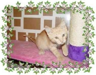 Domestic Shorthair Kitten for adoption in KANSAS, Missouri - Sunny