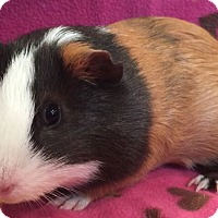 Adopt A Pet :: Jigglypuff - Steger, IL