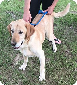 Labrador Retriever Mix Dog for adoption in Hawk Point, Missouri - Mojo