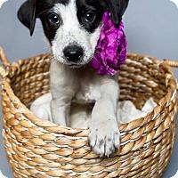 Adopt A Pet :: Pocahontas - Jacksonville, NC