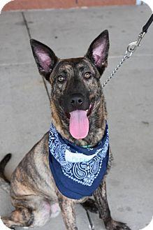 German Shepherd Dog/Dutch Shepherd Mix Dog for adoption in Greensboro, North Carolina - Pepper