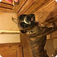 Adopt A Pet :: Chance - Jacksonville, AL