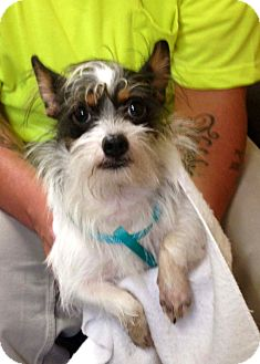 Terrier (Unknown Type, Small) Mix Dog for adoption in Toronto, Ontario - FENMORE