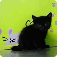 Domestic Shorthair Kitten for adoption in Houston, Texas - BUTCH